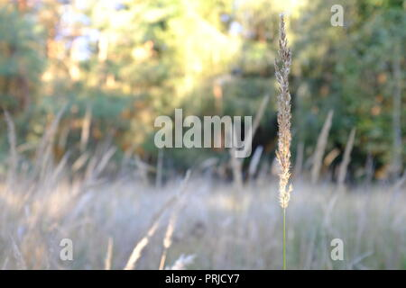 Dry leave of grass on the grass background - Stock Photo