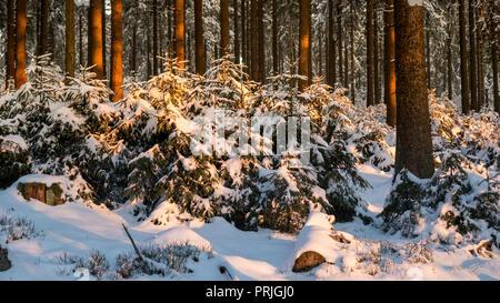 winter forest Feldberg Taunus in Hesse Germany - Stock Photo