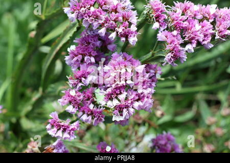 Statice flowers or also known as Limonium sinuatum, sea lavender, notch leaf marsh rosemary, sea pink, wavyleaf lavender - Stock Photo