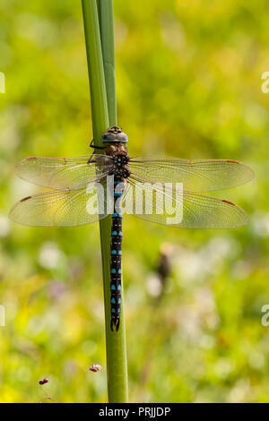 Common hawker (Aeshna juncea) at stalk, male, Aosta Valley, Italy - Stock Photo