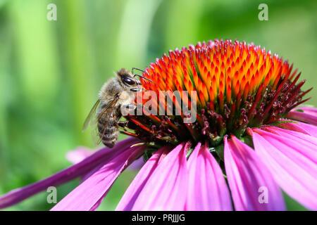 Western honeybee (Apis mellifera) om blossom of Purple coneflower (Echinacea purpurea), Bavaria, Germany - Stock Photo