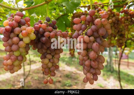 Viticulture, Red grapes, Vale dos Vinhedos, Rota da Uva e de Vinho, Grape and Wine Road, Bento Goncalves, Rio Grande do Sul - Stock Photo