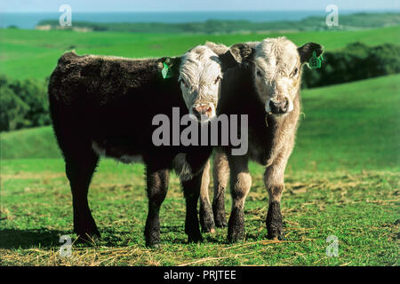 Pair of inquisitive cows in landscape staring at camera. - Stock Photo