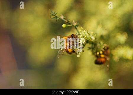 honey bee or worker bee Latin apis mellifera pollinating wild asparagus or sparrow grass Latin asparagus acutifolius in Italy in late summer - Stock Photo