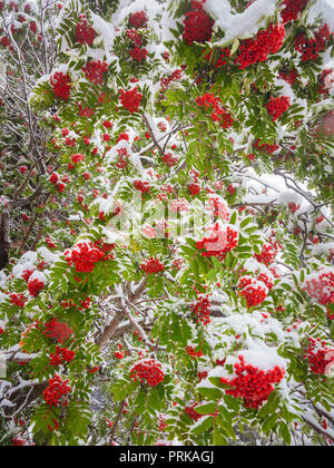 The rowans or mountain-ashes are shrubs or trees in the genus Sorbus of the rose family, Rosaceae. - Stock Photo