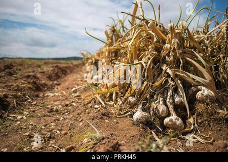 Fresh Garlic in the field - Stock Photo