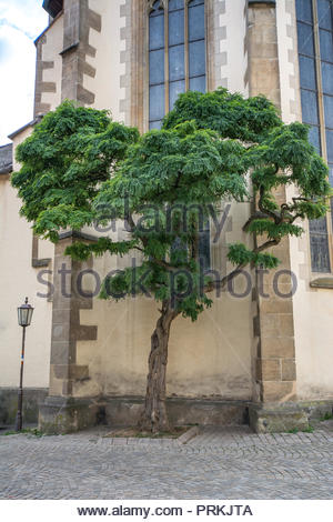 Ash tree at the wall of the dome St. Martin in Rottenburg Neckar Southern Germany. - Stock Photo