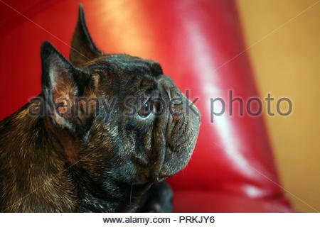 French Bulldog home interior - Stock Photo