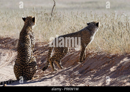 Cheetahs (Acinonyx jubatus), adult female sitting with her standing baby, on a dirt road, Kgalagadi Transfrontier Park, Northern Cape, South Africa - Stock Photo