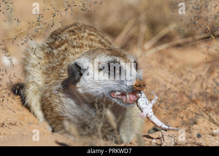 Meerkat (Suricata suricatta), adult male at the burrow, feeding on a gecko, alert, Kgalagadi Transfrontier Park, Northern Cape, South Africa, Africa - Stock Photo