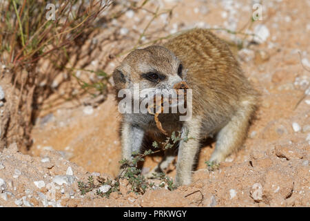 Meerkat (Suricata suricatta), adult animal at the burrow, feeding on a scorpion, Kgalagadi Transfrontier Park, Northern Cape, South Africa, Africa - Stock Photo