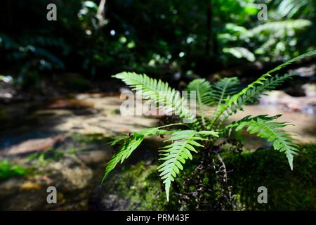 A Fern growing on a rock near a river, Gorrell track, Misty Mountains, Queensland, Australia - Stock Photo