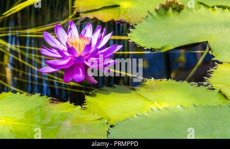 Water lilies in Kew Gardens, London, England - Stock Photo