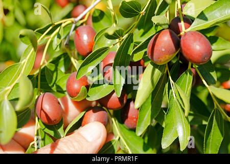 Jujube fruits. Ziziphus jujuba. Chinese dates - Stock Photo