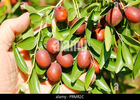Jujube fruits. Ziziphus jujuba. - Stock Photo