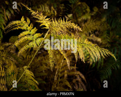 In late summer early autumn the bracken (Pteridium aquilinum) starts to turn first a beautiful golden colour and then then brown. - Stock Photo