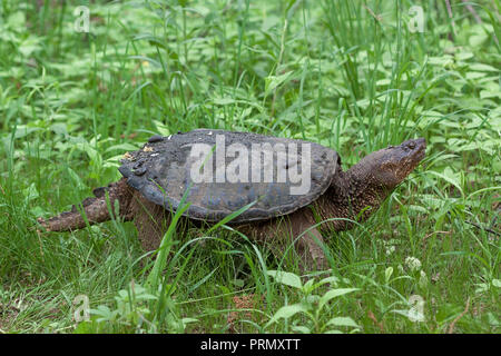 A snapping turtle slowly crawls through dense grass and underbrush on its way back to the lake. Several leeches have hitched a ride on top of her shel - Stock Photo