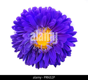 Bright violet yellow decorative flower isolated on white background. Autumn floral pattern. Macro. Top view - Stock Photo