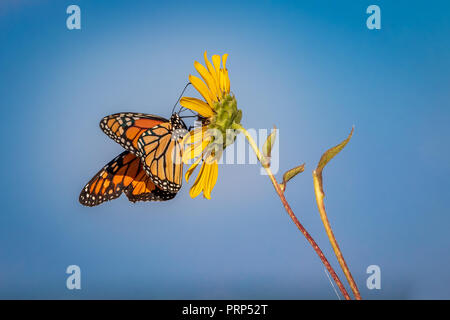 Monarch (Danaus plexippus) butterfly perched on a sunflower blossom - Stock Photo