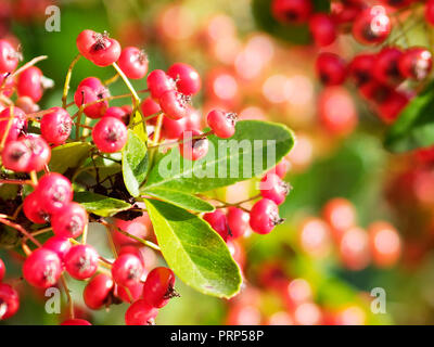 Red  Pyracanths  Berries, UK - Stock Photo