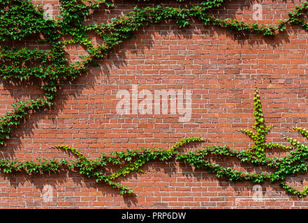 Green Ivy On Side Of Red Brick House - Stock Photo