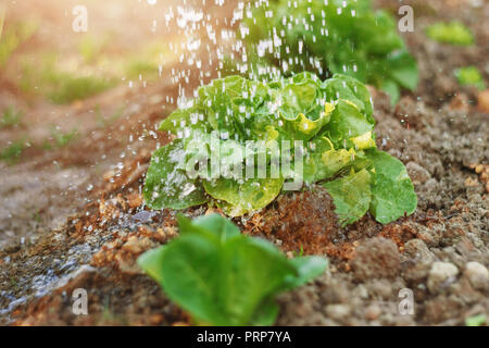 green lettuce leaves watered by raindrops in the evening sunlight - Stock Photo
