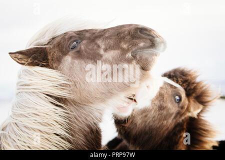 Two Icelandic horses biting, Iceland - Stock Photo