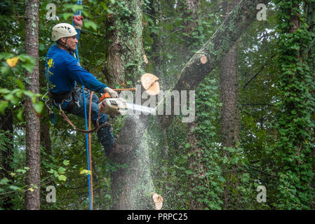 Tree service climber bringing down a large oak tree in sections at a home in Metro Atlanta, Georgia. (USA) - Stock Photo