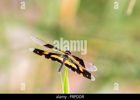 Golden Rhyothemis variegata dragonfly from Kerala, India - Stock Photo