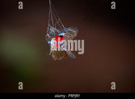 CROSS ORBWEAVER SPIDER CATCHING A SPOTTED LANTERNFLY IN WEB. - Stock Photo