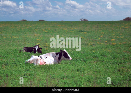 Holstein cow sunbathing in the farm - Stock Photo
