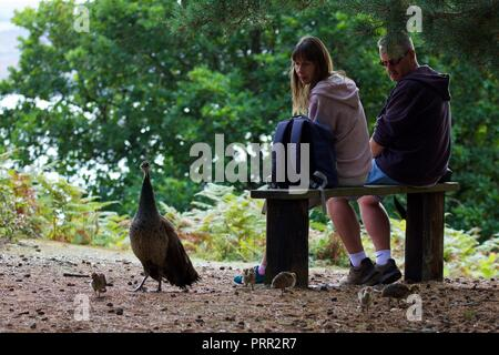 A couple sat down watching a peacock and it's young chicks on Brownsea Island