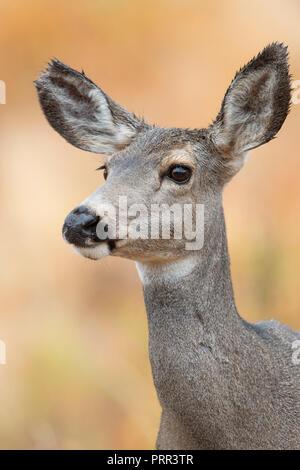 Mule Deer (Odocoileus hemionus) Doe, North America