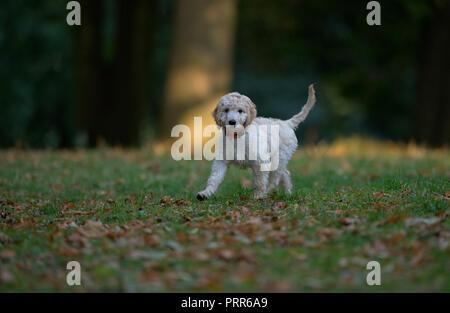 Cockapooh puppy-Canis lupus familiaris. Uk - Stock Photo