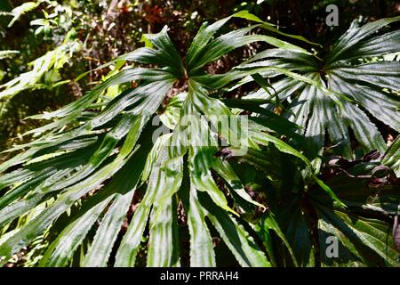 A fern frond in brilliant green with circle like fronds, Palmerston Doongan Wooroonooran National Park, Queensland, Australia - Stock Photo
