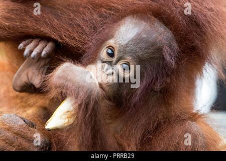 Baby Bornean orangutans, Pongo pygmaeus, with mother, Buluh Kecil River,  Borneo, Indonesia. - Stock Photo