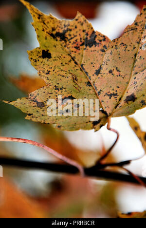 A colorful yellow and brown maple leaf on a black branch in autumn, Quebec, Canada, on a red, white and grey bright background - Stock Photo