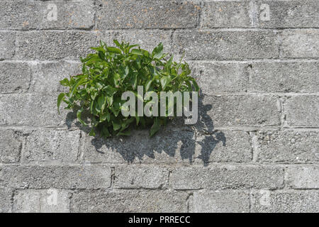 Red Valerian / Centranthus ruber plant growing out of a concrete wall. - Stock Photo