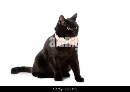 black british shorthair cat in pink bow tie isolated on white background - Stock Photo