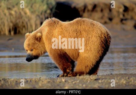 Brown bear (Ursus arctos) on tidal flat at Hallo Bay, Katmai National Park, AK