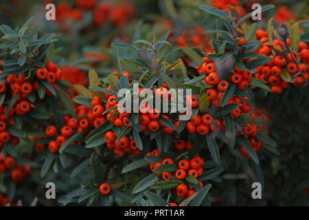 pyracantha or firethorn plant with bright red berries or pomes in autumn or fall in Italy related to cotoneaster and from the rosaceae family - Stock Photo