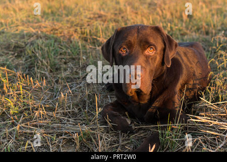 Funny Chocolate Brown Labrador Laying in the Grass - Stock Photo