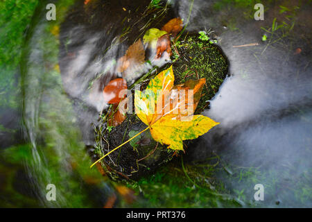 Fallen maple leaf in stream. Cold water is running over dark boulders and bubbles create on level milky water. Colorful leaves from maple or aspen tre - Stock Photo