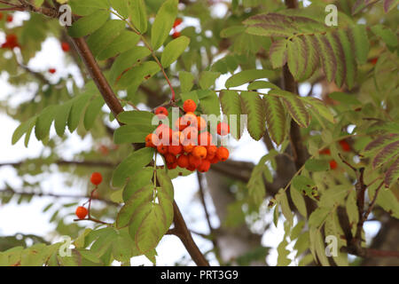 Ripe mountain ash on branches - Stock Photo