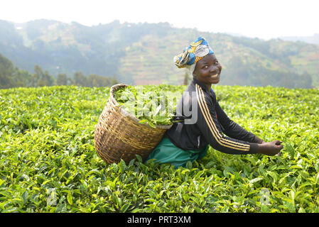Tea plantations in north western Rwanda. - Stock Photo