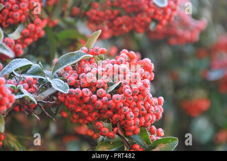 Pyracantha - Frost on plants - Stock Photo