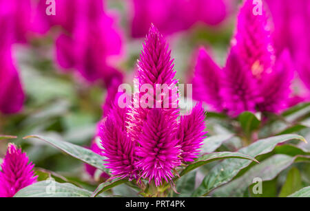 Celosia Caracas, a pink/purple half-hardy annual Cockscomb plant (AKA Celosia Comfort) growing in Autumn in West Sussex, UK. - Stock Photo