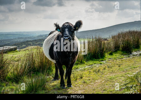 A sharply rendered, detailed, horizontal portrait of a Belted Galloway Cow looking 'in calf' on green moorland by Minions, Bodmin Moor, Cornwall. - Stock Photo