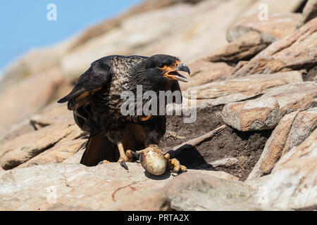 Adult striated caracara, Phalcoboenus australis, with stolen penguin egg on Saunders Island, Falklands - Stock Photo