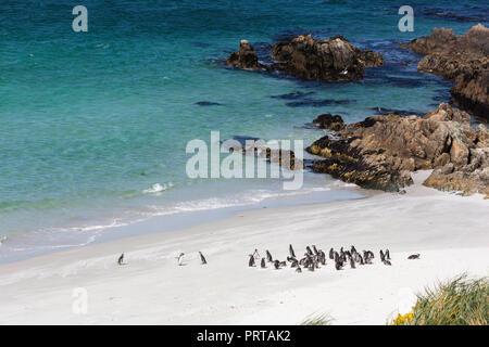 Adult Magellanic penguins, Spheniscus magellanicus, on the beach at Gypsey Cove, East Island, Falklands - Stock Photo